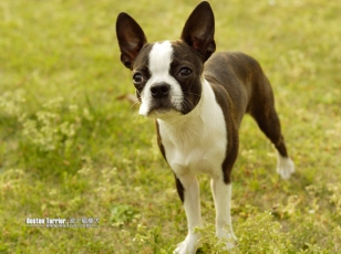 Boston_Terrier_11_months_9